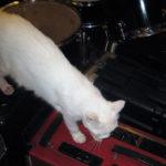 楽器の上を散歩する白ネコ