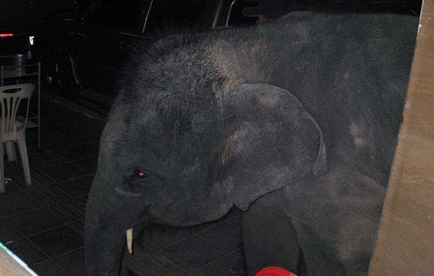 バンコクの街中に現れる象