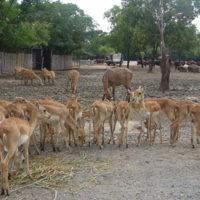 サファリパーク内の餌を食べる可愛い小鹿