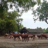 サファリパーク内の角がとても大きな牛