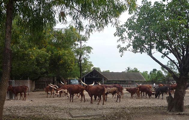 サファリパーク内の角がとても大きな水牛