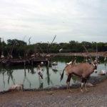 サファリパーク内で池の前にたたずむガゼル