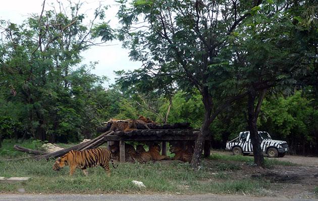 サファリパーク内のトラ(虎)