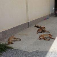日陰でダラっと昼寝するタイの犬たち
