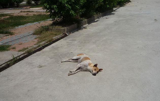 日向でもぐったりと昼寝するタイの犬