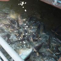 川に餌をまいたら大量のナマズ